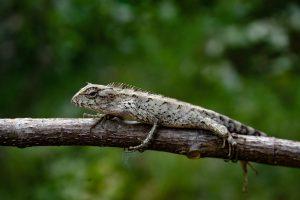 chameleon ( girgit )